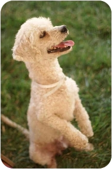 Poodle (Miniature)/Terrier (Unknown Type, Small) Mix Dog for adoption in Beverly Hills, California - Lucky