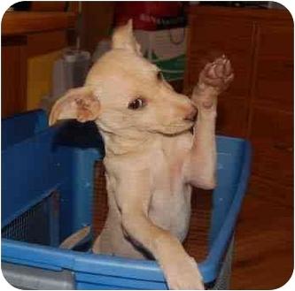 Labrador Retriever/Australian Cattle Dog Mix Puppy for adoption in Chula Vista, California - Baily