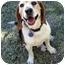 Photo 2 - Beagle Mix Dog for adoption in Phoenix, Arizona - Strat