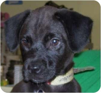 Retriever (Unknown Type)/Terrier (Unknown Type, Medium) Mix Puppy for adoption in Belvidere, Illinois - Tejana