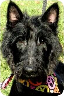 Scottie, Scottish Terrier Dog for adoption in Wakefield, Rhode Island - MISS SKY