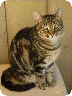 Domestic Shorthair Cat for adoption in Bay City, Michigan - Star