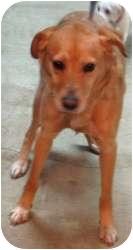 Labrador Retriever/Golden Retriever Mix Dog for adoption in Chicago, Illinois - Bandit (ADOPTED!)