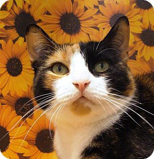Domestic Shorthair Cat for adoption in Albany, New York - Gina
