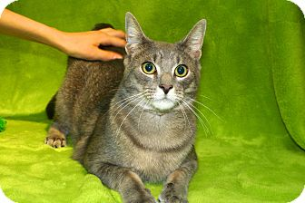 Domestic Shorthair Cat for adoption in Rochester Hills, Michigan - Memphis