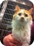Maine Coon Kitten for adoption in Pittstown, New Jersey - Floyd