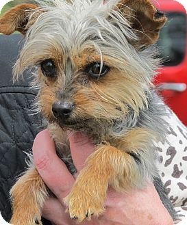 Yorkie, Yorkshire Terrier Dog for adoption in Hagerstown, Maryland - Yoshi