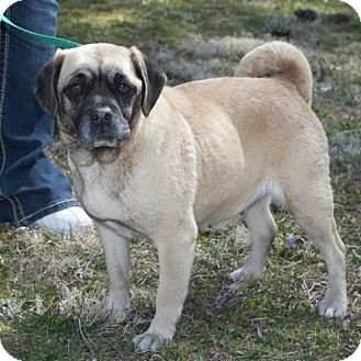 Pug/Beagle Mix Dog for adoption in New Martinsville, West Virginia - Tiffy