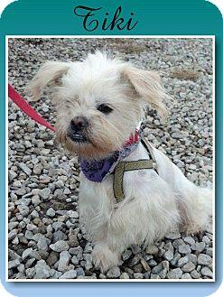 Shih Tzu Dog for adoption in Delaware, Ohio - Tiki