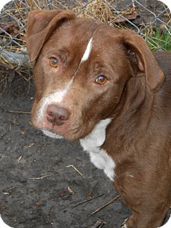 Labrador Retriever/American Staffordshire Terrier Mix Dog for adoption in Rochester Hills, Michigan - Margie