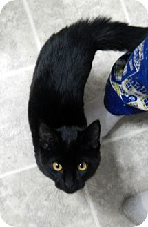 Domestic Shorthair Kitten for adoption in Troy, Michigan - Midnight