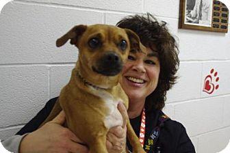 Pug/Chihuahua Mix Dog for adoption in Elyria, Ohio - Belle-Prison Graduate