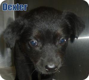 Labrador Retriever Mix Puppy for adoption in Georgetown, South Carolina - Dexter