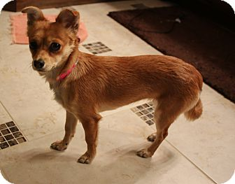 Chihuahua Mix Dog for adoption in LaGrange, Kentucky - FOXY