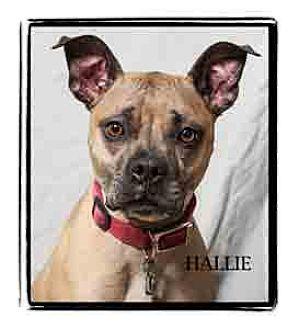 Boxer Mix Dog for adoption in Warren, Pennsylvania - Hallie