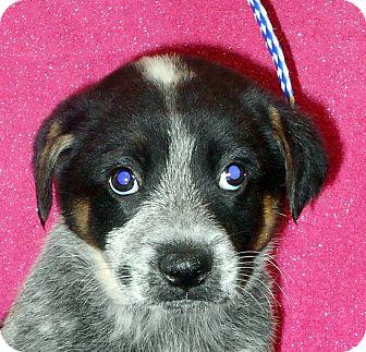 Australian Cattle Dog/Australian Shepherd Mix Puppy for adoption in Allentown, New Jersey - Fred Potter