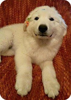 Labrador Retriever/Great Pyrenees Mix Puppy for adoption in Miami, Oklahoma - J/ Lilly