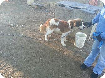 St. Bernard Dog for adoption in Pittsburgh, Pennsylvania - Hobi