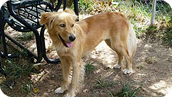 Golden Retriever Mix Dog for adoption in Homer, New York - Goldie
