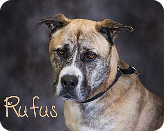 Akita Mix Dog for adoption in Somerset, Pennsylvania - Rufus
