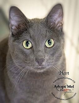 Russian Blue Cat for adoption in Belton, Missouri - Han