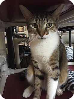 Domestic Shorthair Kitten for adoption in Boca Raton, Florida - Jack
