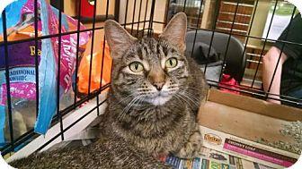 American Shorthair Cat for adoption in Pembroke, Georgia - *Nibbles