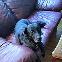 Labrador Retriever/Shar Pei Mix Dog for adoption in Guelph, Ontario - Rosie