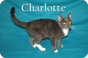 Domestic Shorthair Kitten for adoption in Jackson, Mississippi - Charlotte