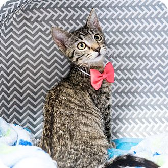 Domestic Shorthair Kitten for adoption in Montclair, California - Meredith