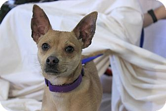 Chihuahua/Miniature Pinscher Mix Dog for adoption in Flushing, Michigan - Tod