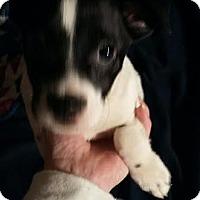 Adopt A Pet :: Will - Maryville, TN