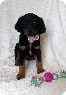 Labrador Retriever/Hound (Unknown Type) Mix Puppy for adoption in Elkton, Maryland - Zara