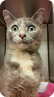 Domestic Shorthair Cat for adoption in Toast, North Carolina - Tonks