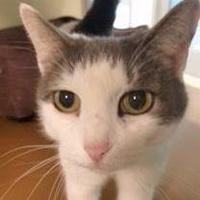 Adopt A Pet :: Mouser - Menands, NY