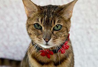 Bengal Cat for adoption in Fort Lauderdale, Florida - Lulu