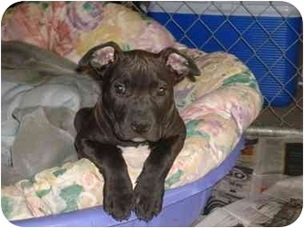 American Pit Bull Terrier Puppy for adoption in Pittsburg, California - bubba