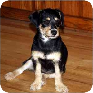 Terrier (Unknown Type, Small)/Dachshund Mix Dog for adoption in Redondo Beach, California - Cailey