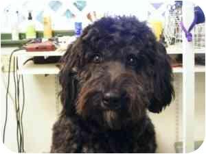 Poodle (Miniature)/Labrador Retriever Mix Dog for adoption in North Benton, Ohio - Gizzzy