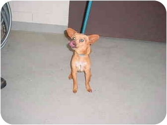 Chihuahua Mix Dog for adoption in Tracy, California - jimmy