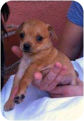 Terrier (Unknown Type, Small)/Chihuahua Mix Puppy for adoption in Encino, California - Tootsie Roll