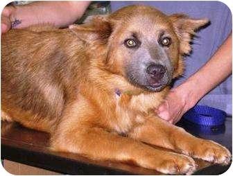 German Shepherd Dog/Chow Chow Mix Puppy for adoption in Charlotte, North Carolina - Brooklyn