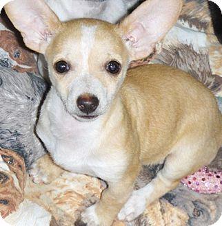 Chihuahua/Dachshund Mix Puppy for adoption in Chandler, Arizona - Cholla