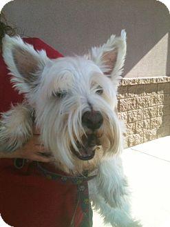 Westie, West Highland White Terrier Mix Dog for adoption in Tucson, Arizona - Jasper