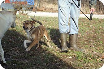 Labrador Retriever/Shepherd (Unknown Type) Mix Puppy for adoption in Danbury, Connecticut - Cinderella