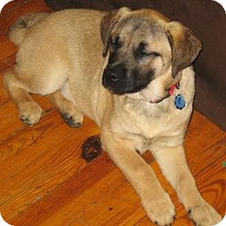 Shepherd (Unknown Type) Mix Puppy for adoption in kennebunkport, Maine - Trace - in Maine