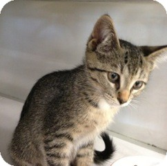 Domestic Shorthair Kitten for adoption in Warren, Michigan - Abby - Petco Troy