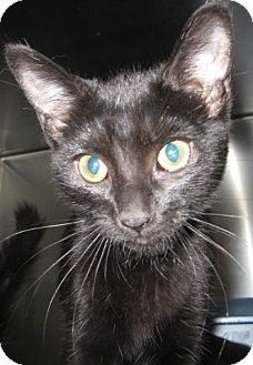 Domestic Shorthair Kitten for adoption in Westminster, California - Soot