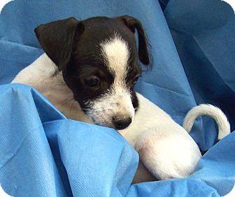 Jack Russell Terrier/Schnauzer (Miniature) Mix Puppy for adoption in Salem, New Hampshire - PUPPY SERENA