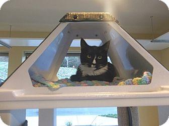 Domestic Shorthair Cat for adoption in Bellingham, Washington - Marla